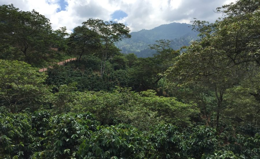Growing Arabica coffee under shade vegetation, the department of Copán, Honduras, 2015. Photo: Ernesto Méndez.