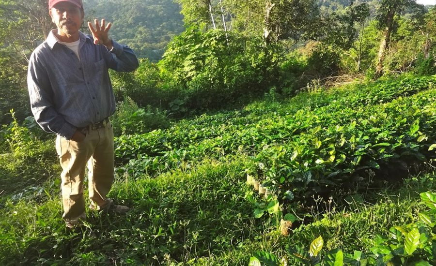 Demonstration plot of Cafenica, a national organization for coffee producers, in Northern Nicaragua (2015). Photo: Janica Anderzén.