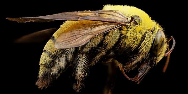 wild bees, carpenter bees, native pollinators