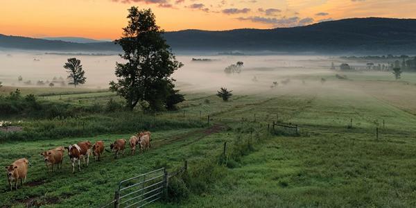 Orb weaver cows walking through a foggy early morning field