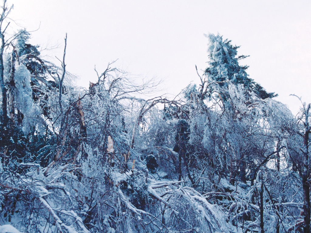 Tree damage from the 1998 ice storm.