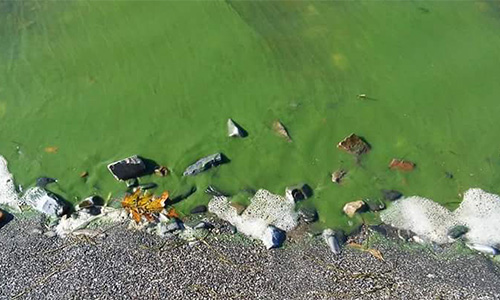 Blue-green cyanobacteria in lake water along shore