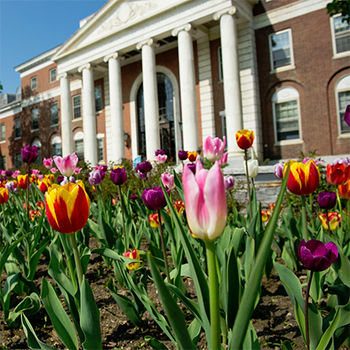 Tulips in foreground and Waterman building in background