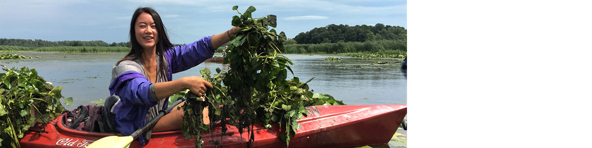 Lianne Parmalee harvests water chestnut from a kayak