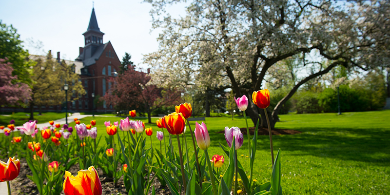 tulips blooming on campus green