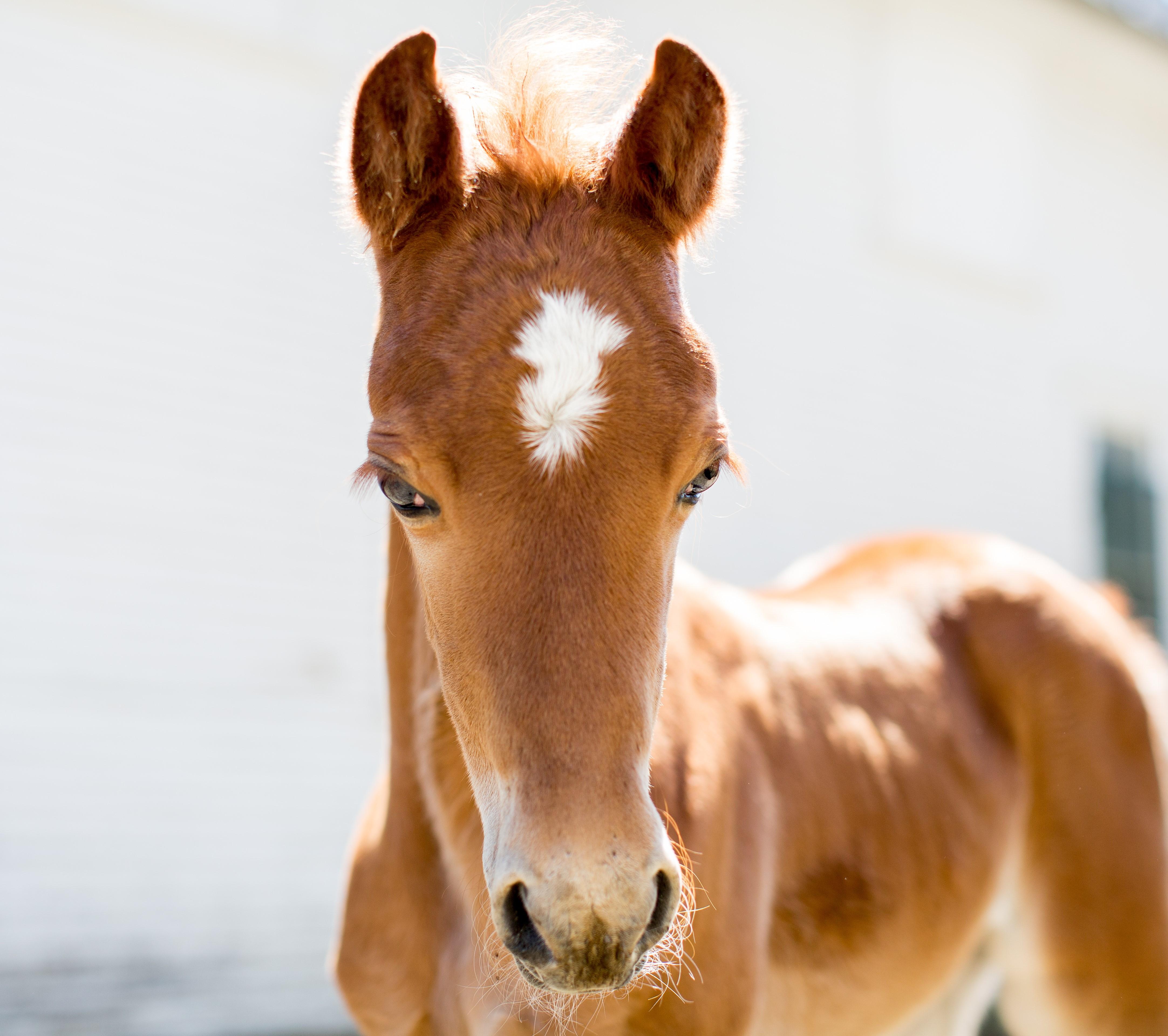 foal headstudy