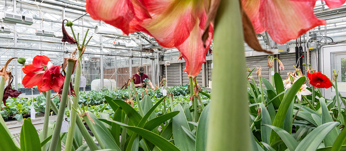 Amaryllis flowers bloom in UVM Greenhouse with student holding plant in distance