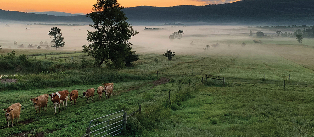 Cows walk over green pastures in morning mist in Vermont