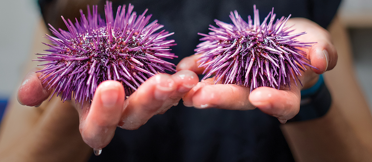 Melissa Pespeni holds two purple sea urchins in hands in lab