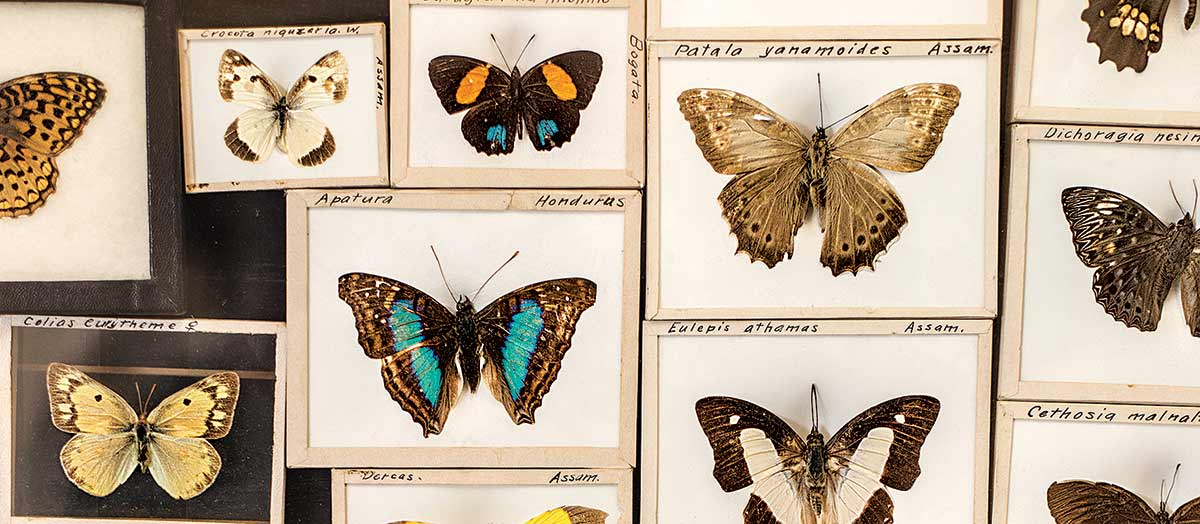 Butterfly collection at UVM