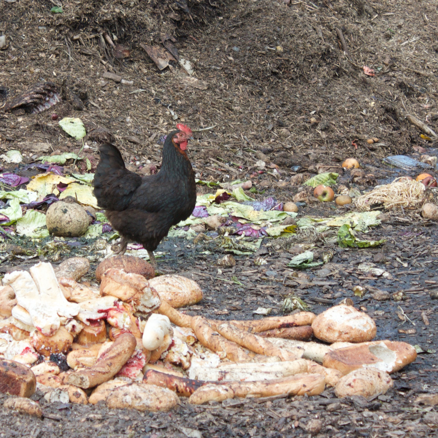 A chicken munches on food scraps at Grow Compost