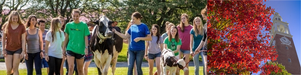 ASCI students walk calf across campus in Summer Term