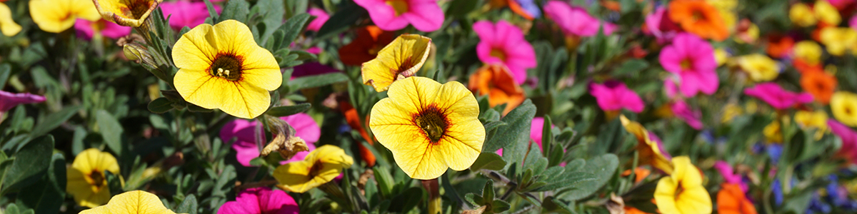 Yellow and pink petunia flowers