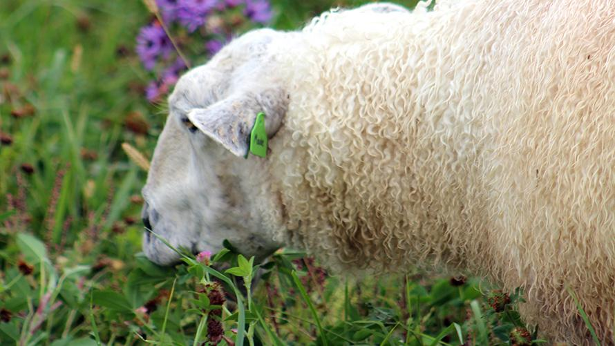 image description: a close shot of a white woolly sheep grazing in grass and flowers
