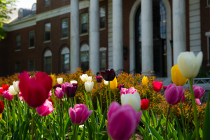 Tulips in front of Waterman
