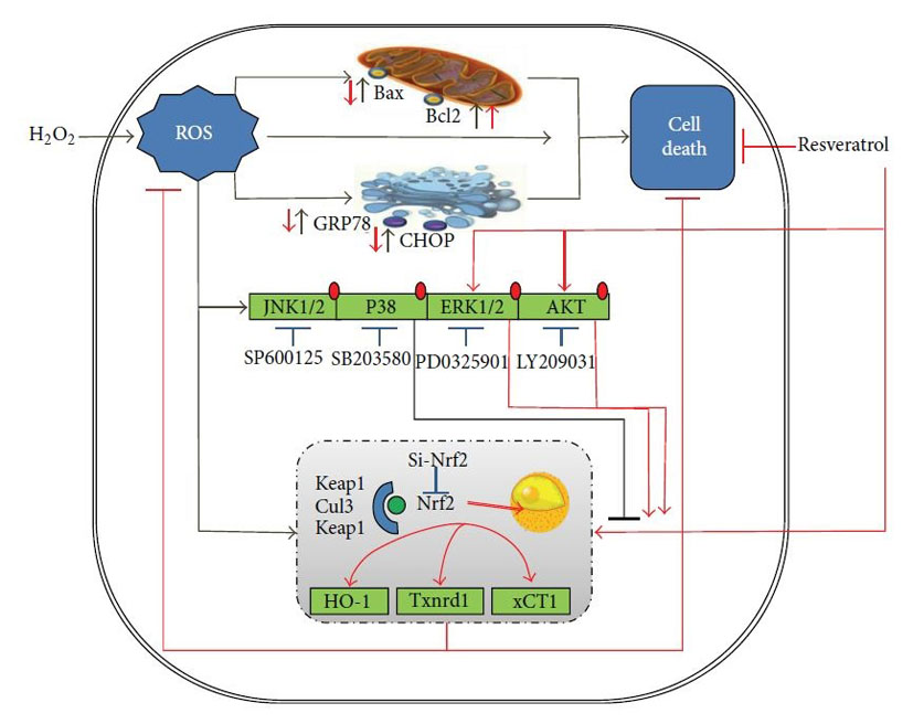 Schematic diagram summarizing the potential antioxidation mechanisms of resveratrol in mammary epithelial cells