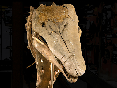 The Charlotte Whale skull