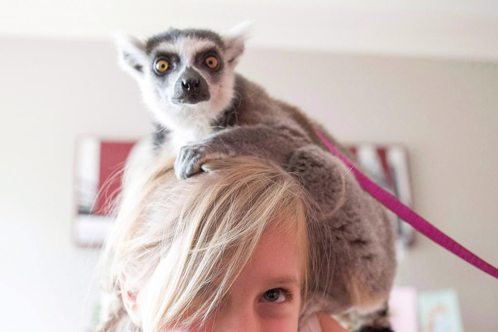 Lemur on head of young girl