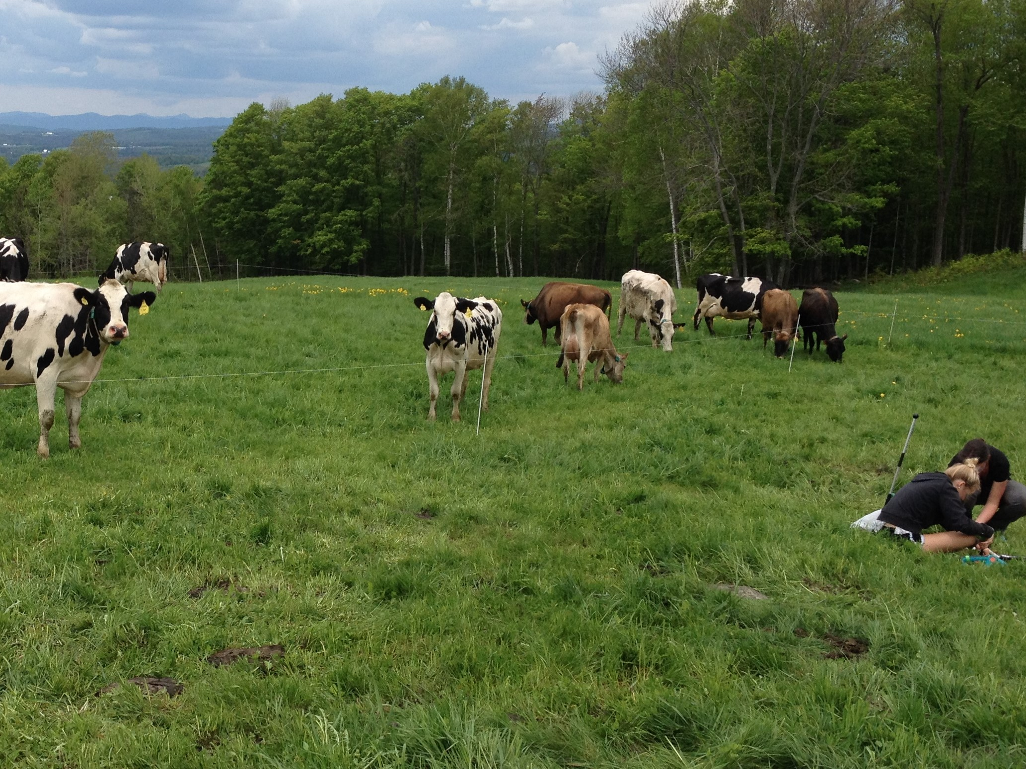 Cows grazing and Students collecting data