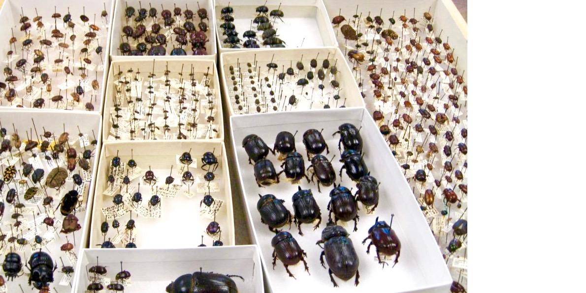 a drawer of mounted beetles in boxes