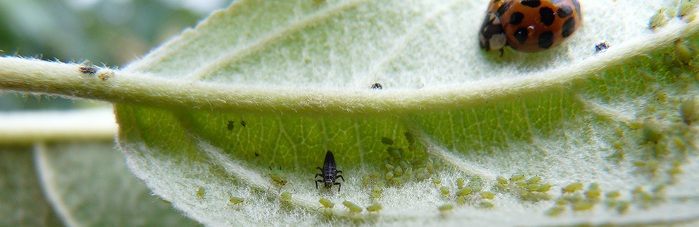 Leaf with aphids and lady bug