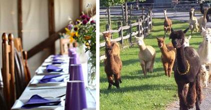 Elegant table and herd of alpacas