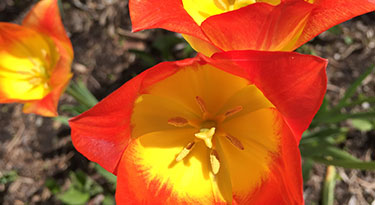 Closeup of a tulip in bloom