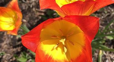 Closeup of a tulip in bloom
