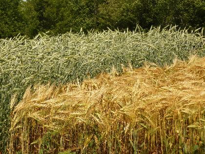 Row of barley and rye