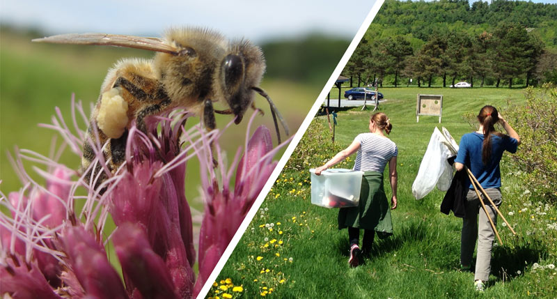 Images of a honeybee and two student researchers walking through a green field with bee nets.