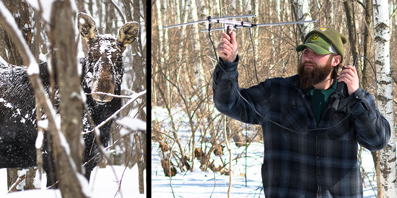 Moose in the snow and Chris Lampart using radio-telemetry equipment