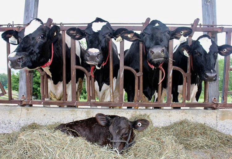 four cows in a stall and a calf in the hay