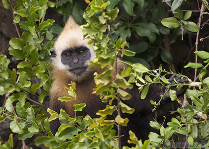The Cat Ba langur, or Golden-headed langur