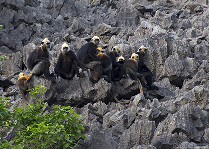 A group of langurs on the limestone cliffs of Cat Ba Island