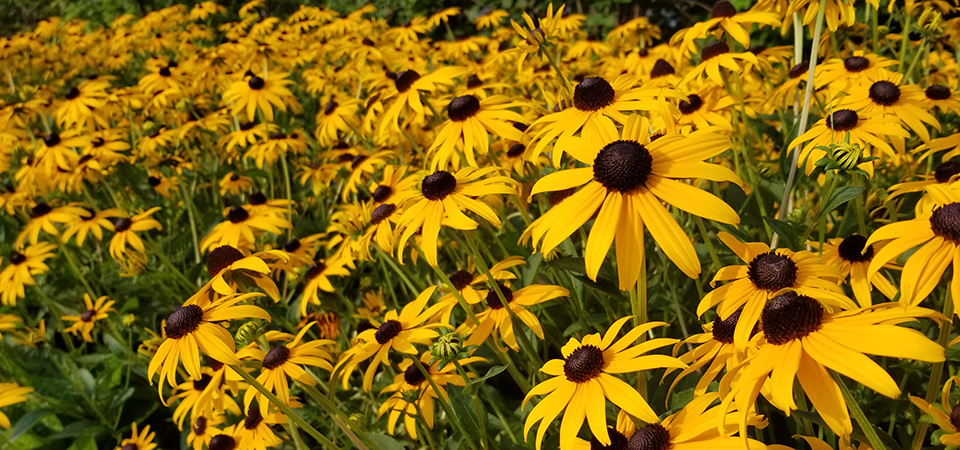 Black-eyed Susan flowers in flower bed.