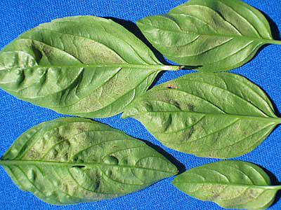 downy mildew on basil leaves