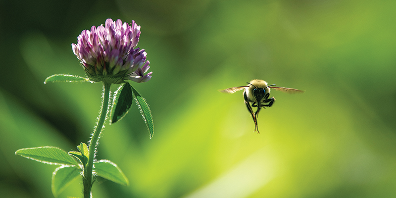 Bee hovering next to clover flower
