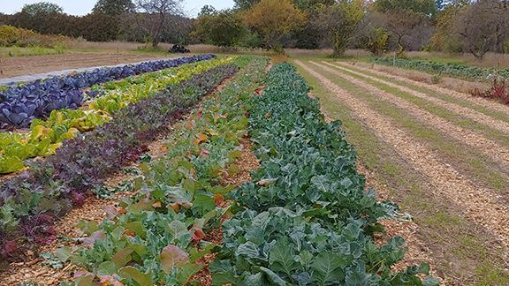 image description: rows of vegetables in a field. On the right are healthy, large broccoli plants grown with wool pellets and on the left are much smaller, less vibrantly colored plants grown with standard treatment.