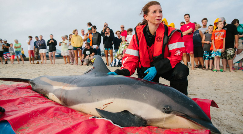 A marine conservation volunteer cares for a beached dolphin on the Massachusetts coast.