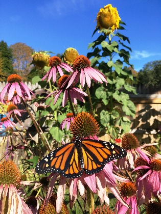 A monarch butterfly feeds on the nectar of a purple coneflower