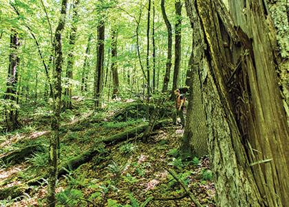 Professor Bill Keeton in an old growth forest.