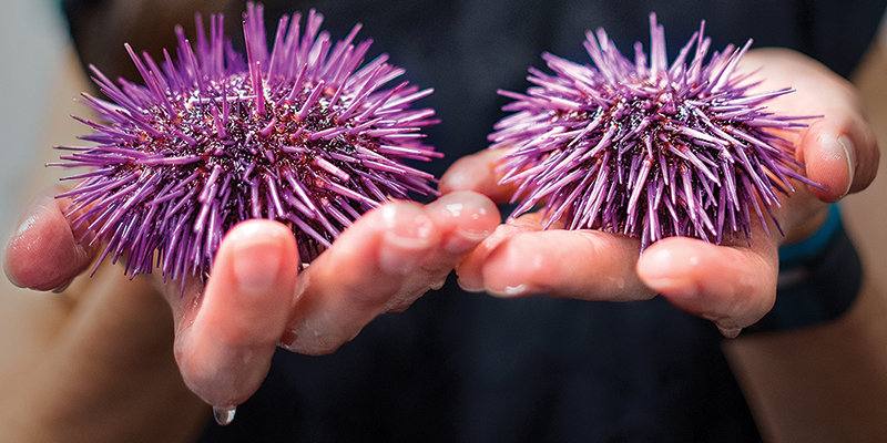 two hands holding purple sea urchins