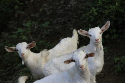 Three white goats standing between green grass