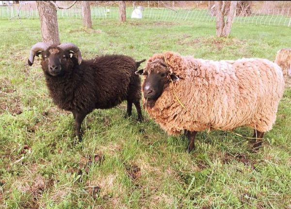 image description: two woolly rams, one black and one light brown, in a fall pasture with tree trunks behind them