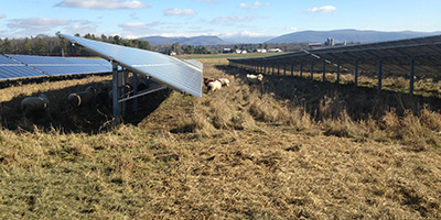 image description: solar panels in a field with dry grasses beneath and sheep grazing