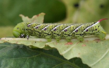 """The tobacco hornworm with its distinctive diagonal white stripes and reddish """"horn"""" feeds on tomatoes, eggplant and other plants in the nightshade family."""
