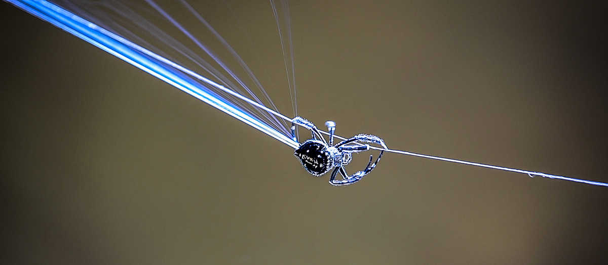 A spider crawls along a web