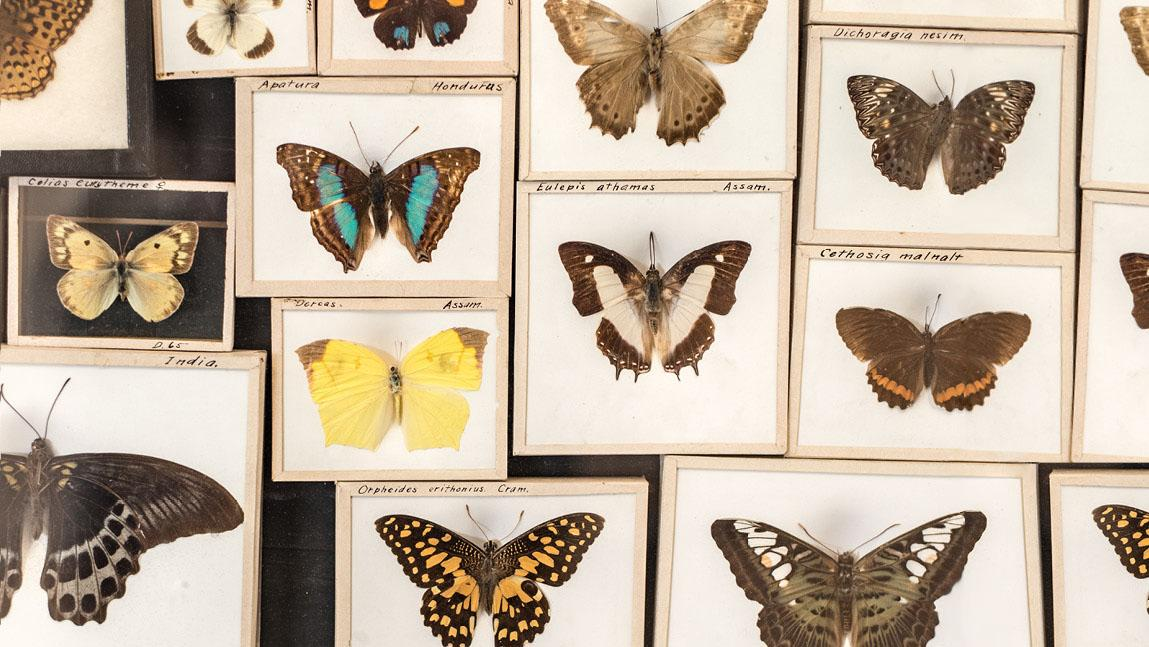 butterflies from a museum of natural history collection