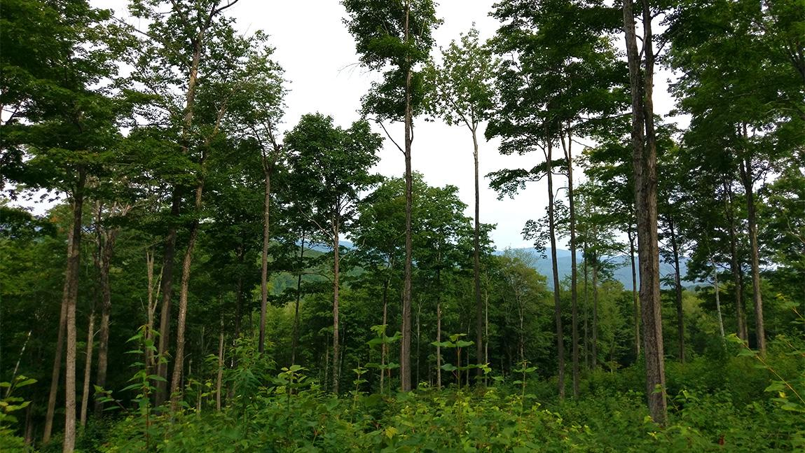 Recently thinned healthy green forest