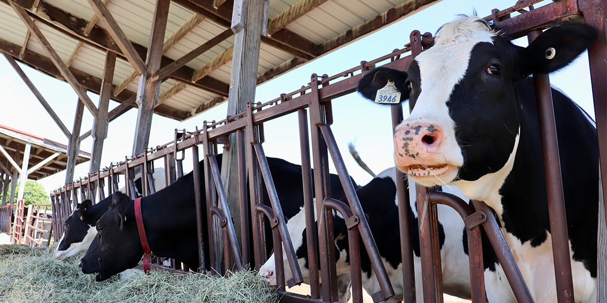Dairy cows in an open air barn eating silage.